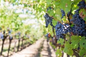 Italian Wine Vineyard
